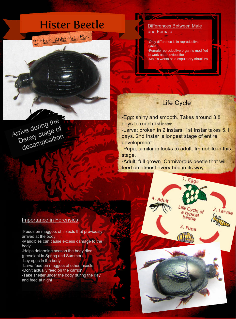 Hister Beetle